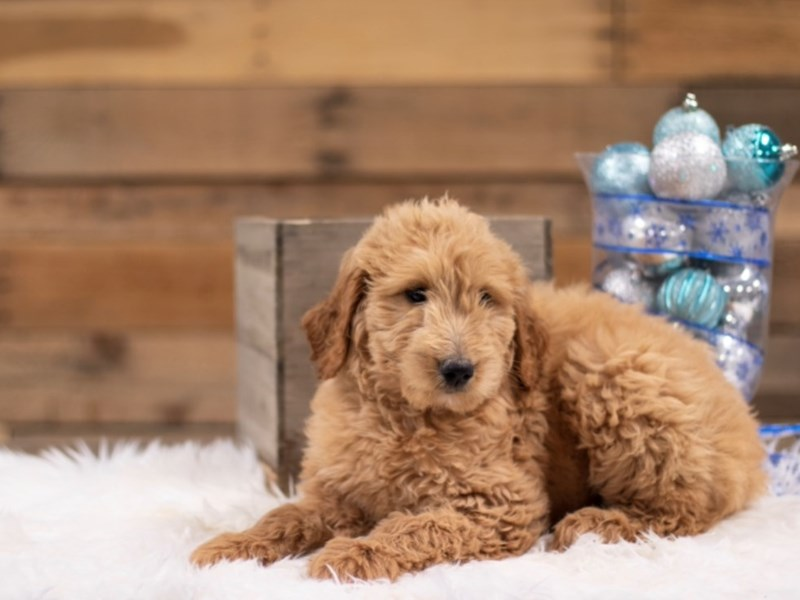F1B Goldendoodle – Snow Queen
