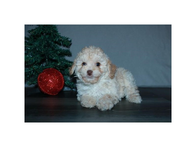 Poodle-Female-Cream-2551782-The Barking Boutique