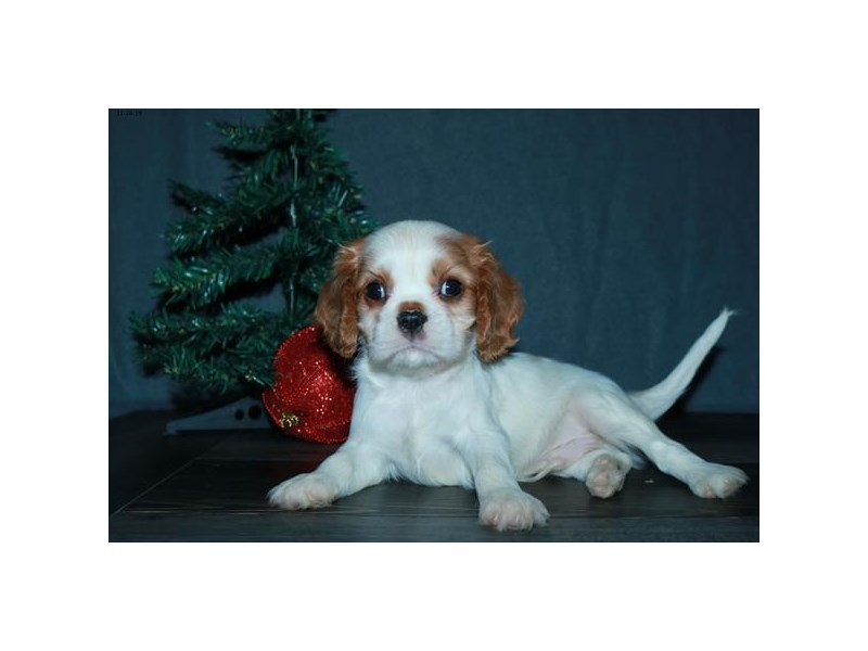 Cavalier King Charles Spaniel-Male-Blenheim-2551787-The Barking Boutique