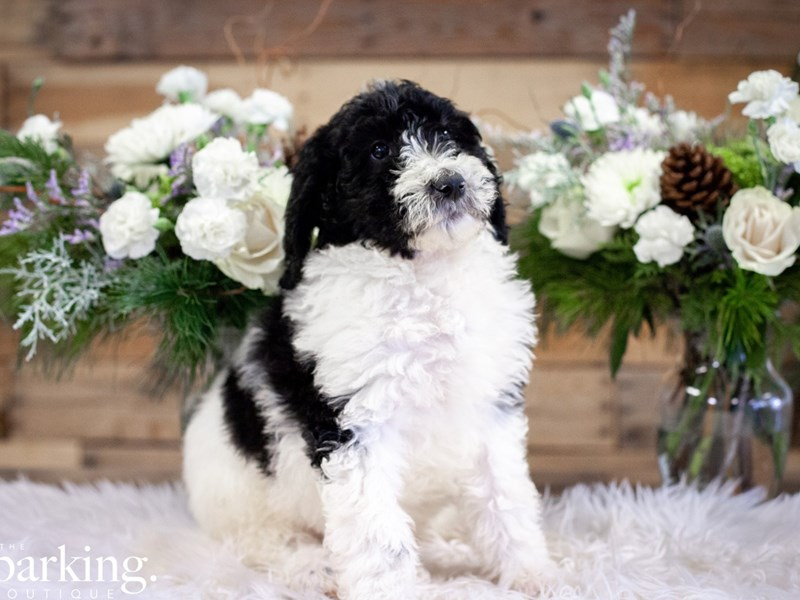 Standard Poodle-Female-Black & White Parti-2546114-The Barking Boutique