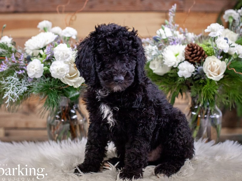Standard Poodle-Male-Black-2546117-The Barking Boutique