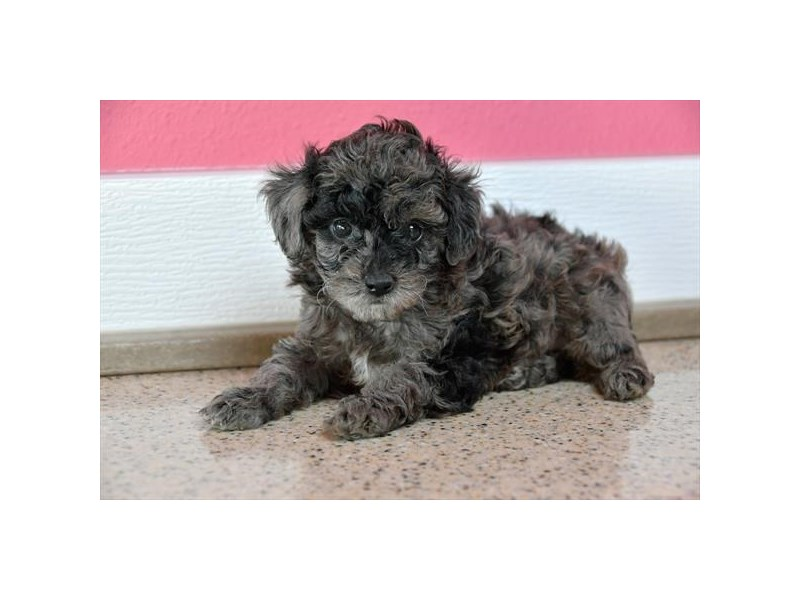 Poodle-Male-Blue Merle-2558682-The Barking Boutique