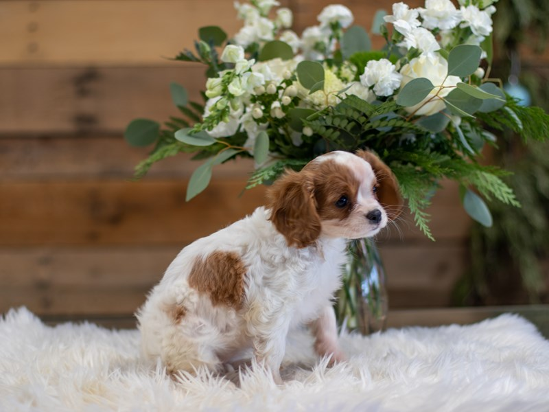 Cavalier King Charles Spaniel-Female-Blenheim-2564205-The Barking Boutique