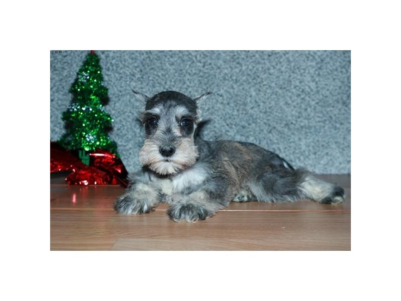 Miniature Schnauzer-Female-Sable-2572102-The Barking Boutique