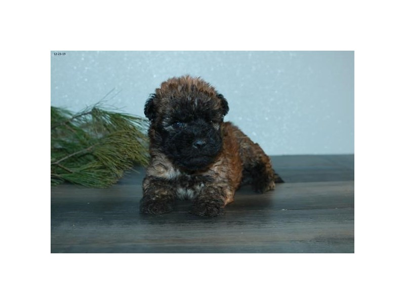 Soft Coated Wheaten Terrier-Female-Brown-2577950-The Barking Boutique