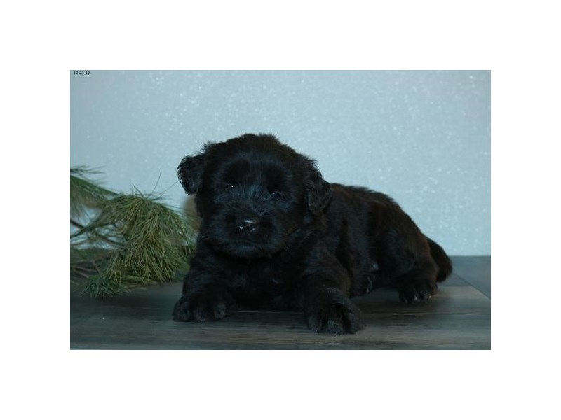 Chow Mix-Male-Black-2577958-The Barking Boutique