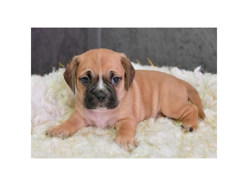 Puggle-Male-Fawn-2577959-The Barking Boutique