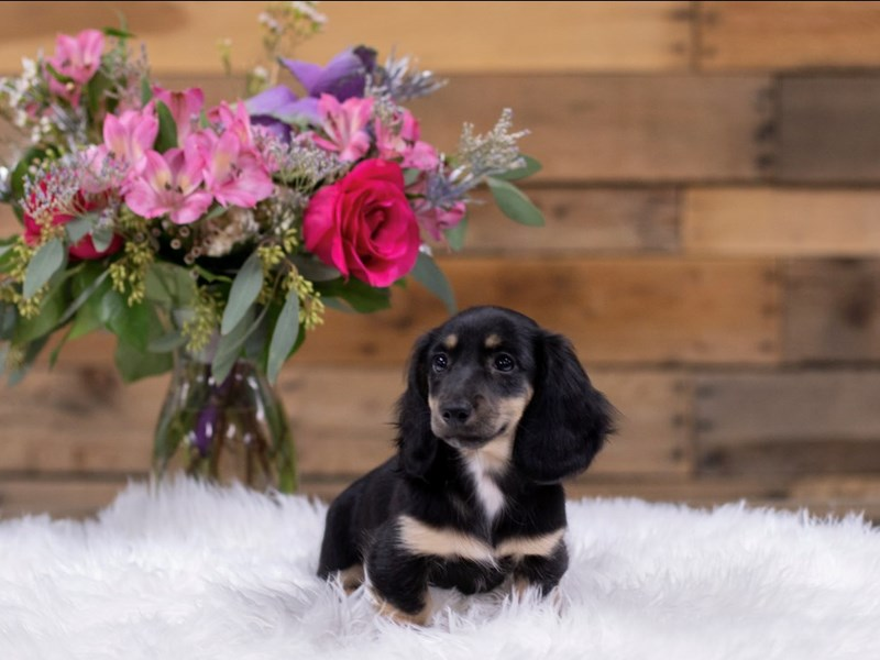 Dachshund-Female-Black and tan-2578707-The Barking Boutique