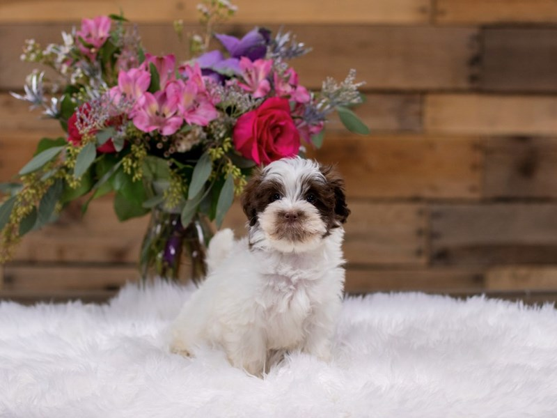 Havanese-Female-White / Chocolate-2577960-The Barking Boutique