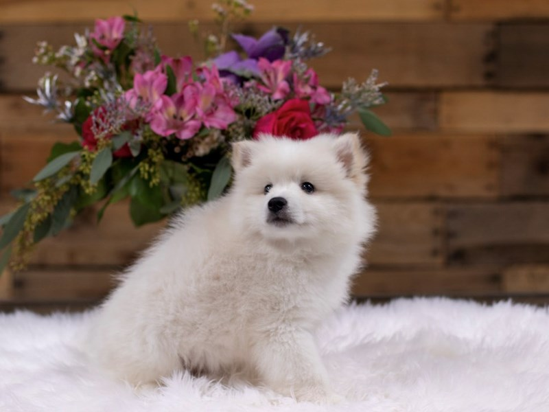 American Eskimo / Alaskan Klee Kia-Male-White-2577956-The Barking Boutique