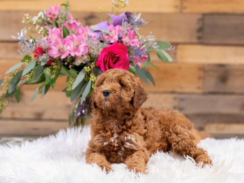 F1B Mini Goldendoodle-Male-Red-2575938-The Barking Boutique