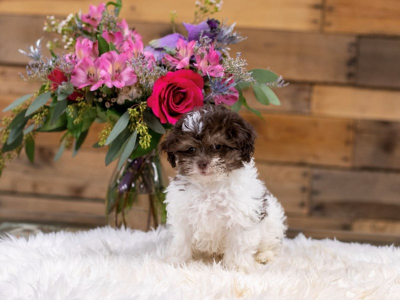 Shipoo-Male-Chocolate and White-2575793-The Barking Boutique