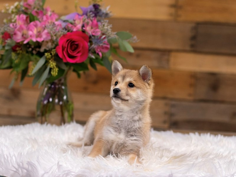Shiba-Mo-Female-Brown and White-2575783-The Barking Boutique