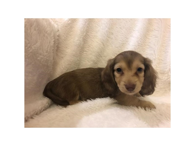 Dachshund-Male-Chocolate Sable-2585518-The Barking Boutique
