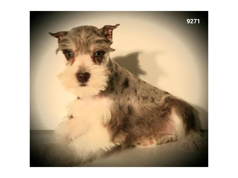 Miniature Schnauzer-Male-Chocolate Merle-2585529-The Barking Boutique
