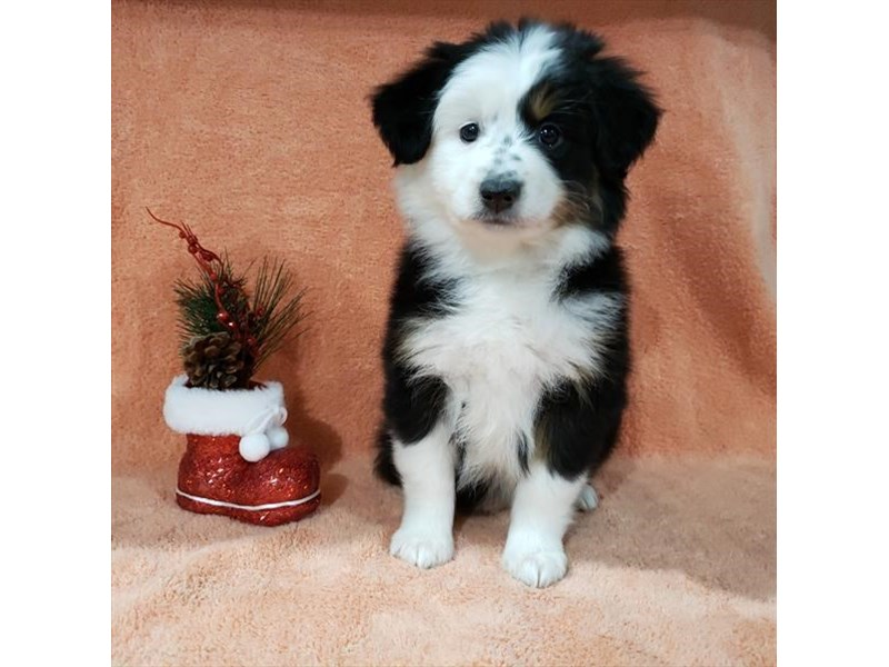 Australian Shepherd-Female-Black White / Tan-2585532-The Barking Boutique
