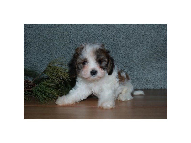 Cavachon-Male-Sable / White-2585537-The Barking Boutique