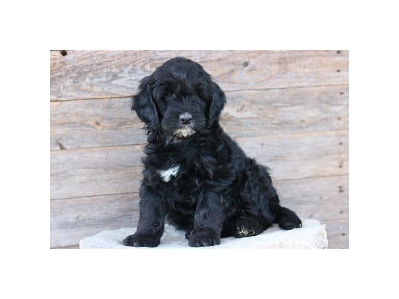 Goldendoodle Mini-Male-Black-2585846-The Barking Boutique