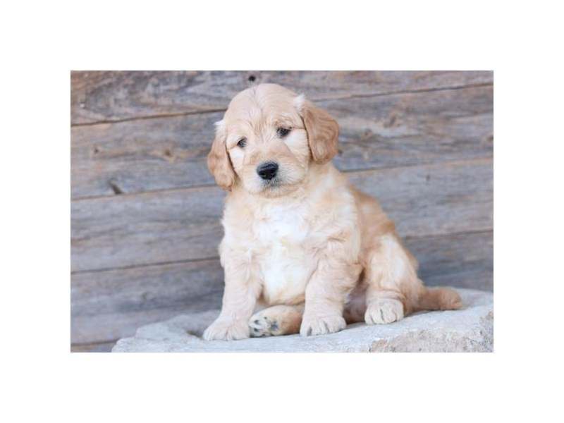 Goldendoodle Mini-Male-Apricot-2585847-The Barking Boutique