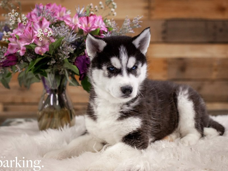 Siberian Husky-Male-Black / White-2585520-The Barking Boutique