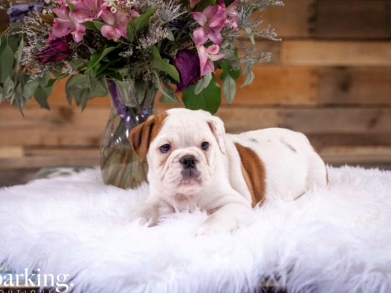 Victorian Bulldoge – Aspen