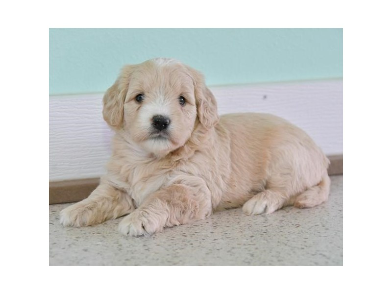 Mini Goldendoodle-Female-Golden-2592970-The Barking Boutique