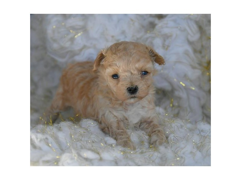 Maltipoo-Female-Cream-2592976-The Barking Boutique