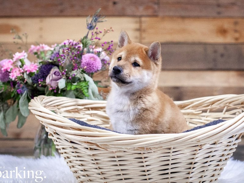 Shiba Inu-Male-Tan-2592966-The Barking Boutique