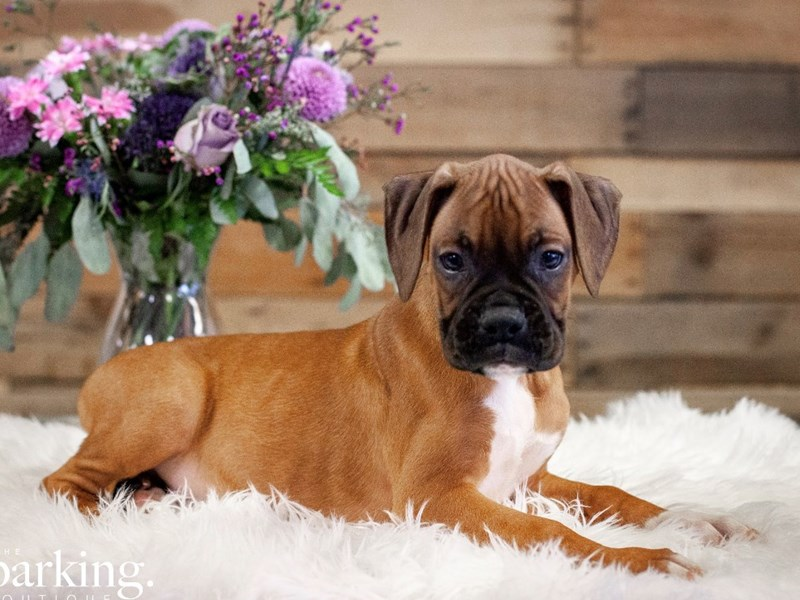 Boxer-Male-Fawn-2591824-The Barking Boutique