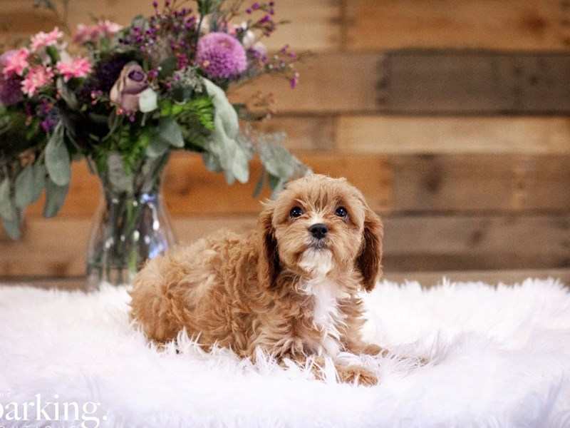 Cavapoo-Male-Apricot-2591635-The Barking Boutique