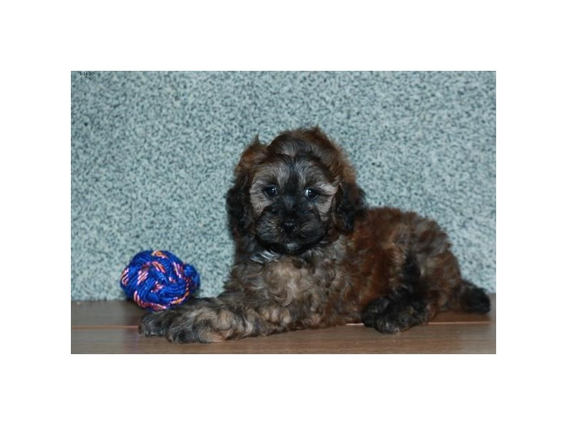 F1b Cockapoo-Male-Sable-2608438-The Barking Boutique