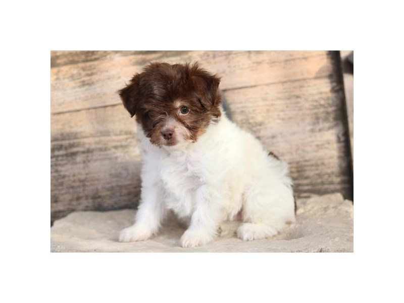 Aussiedoodle Mini-Male-Chocolate / White-2577947-The Barking Boutique