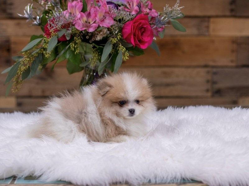 Pomeranian – Old Man Winter