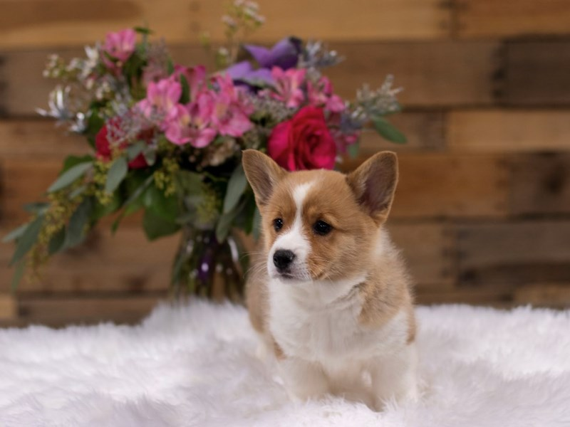 Pembroke Welsh Corgi-Male-Red / White-2577953-The Barking Boutique