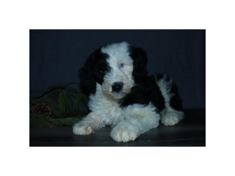 Old English Sheepdog/Poodle – Sky