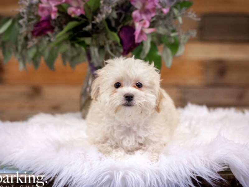 F1B Aussiedoodle-Female-Cream-2586000-The Barking Boutique