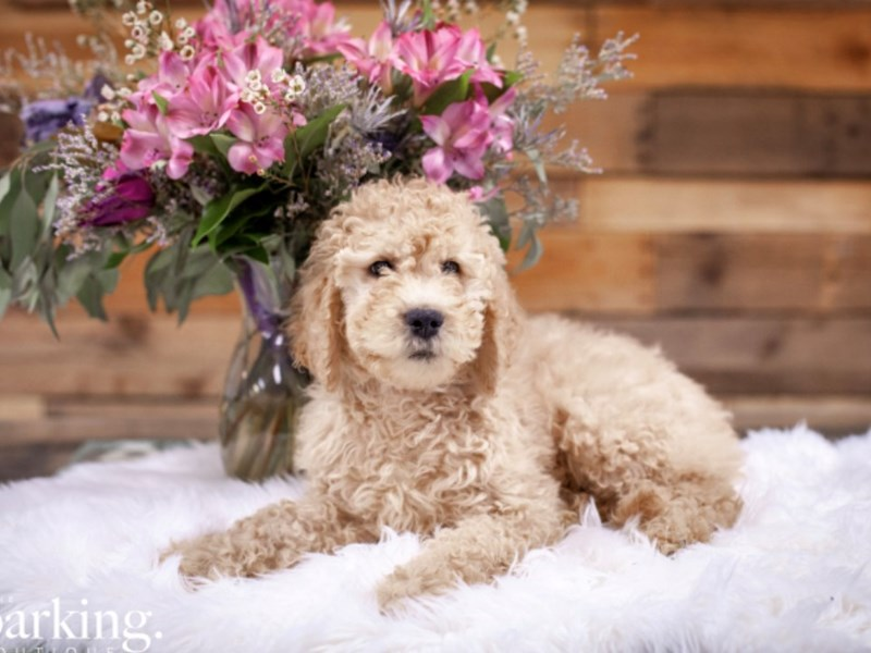 Goldendoodle 2nd Gen – Chilly