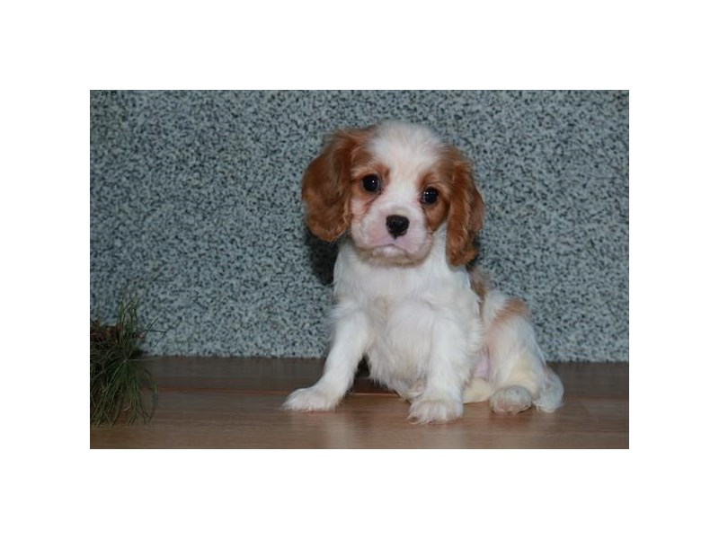 Cavalier King Charles Spaniel-Male-Blenheim-2592972-The Barking Boutique
