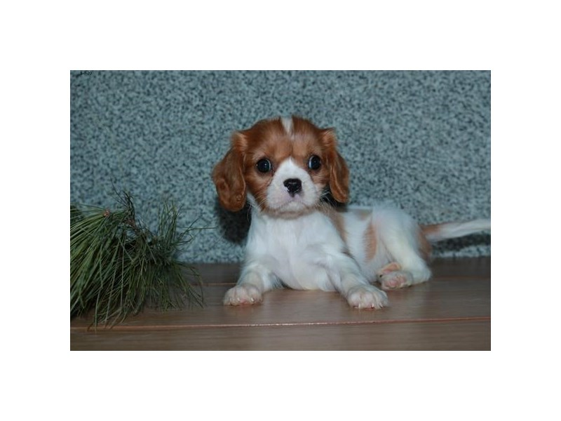 Cavalier King Charles Spaniel-Female-Blenheim-2592973-The Barking Boutique
