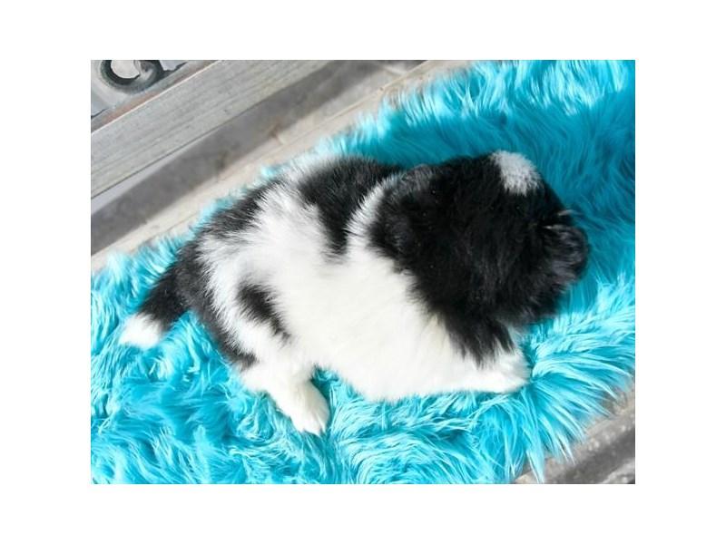F1B Pomsky-Female-Black-2592975-The Barking Boutique