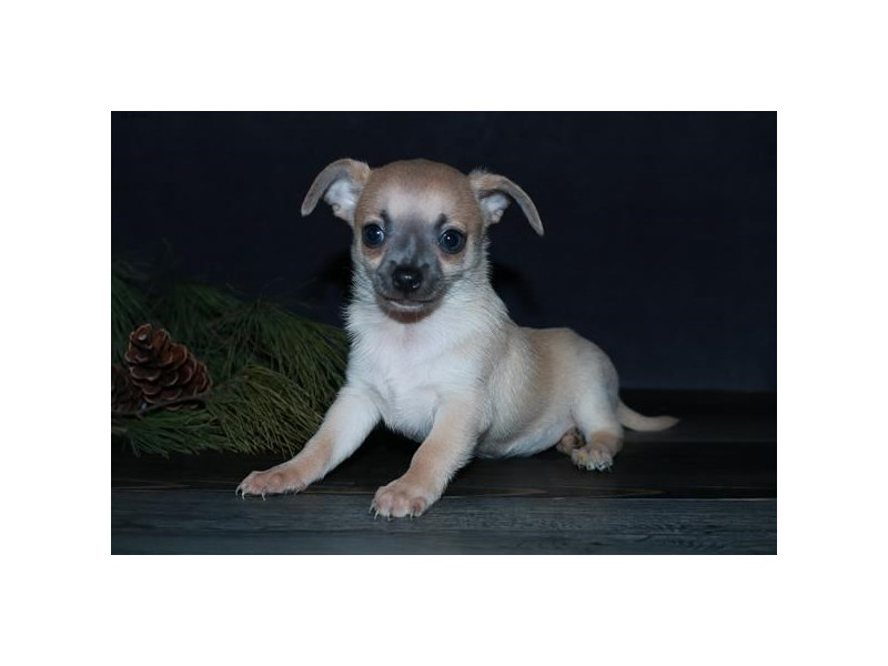 Chihuahua-Male-Tan-2592977-The Barking Boutique