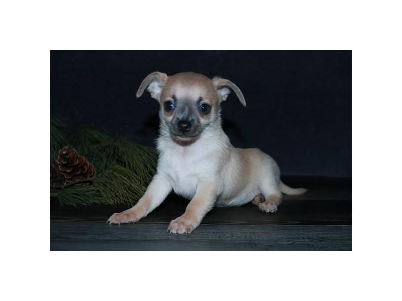 Chihuahua – Tugboat