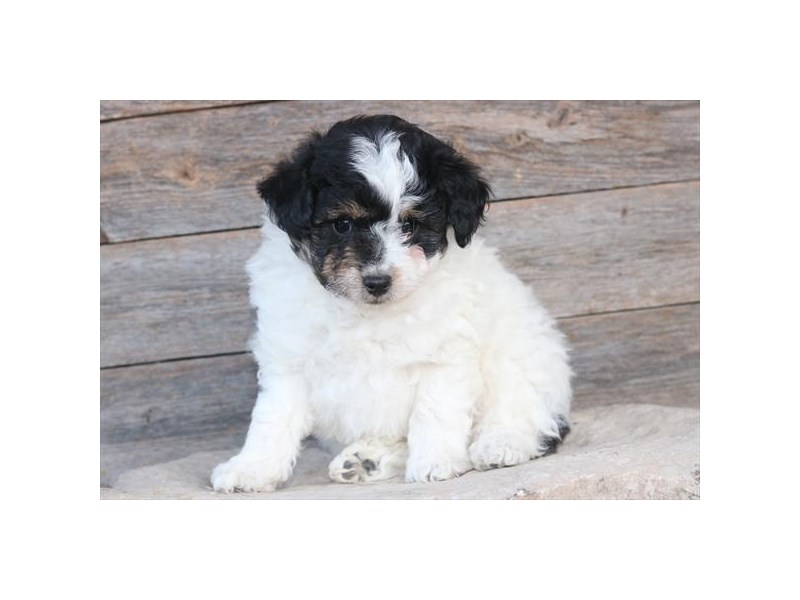 Mini Aussiedoodle-Female-Black / White-2593111-The Barking Boutique