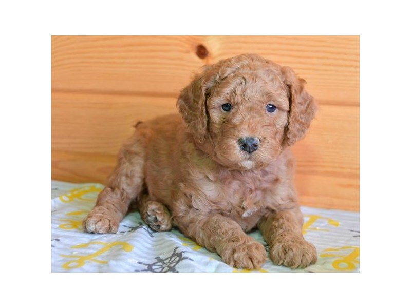 F1B Mini Goldendoodle-Male-Red-2593112-The Barking Boutique