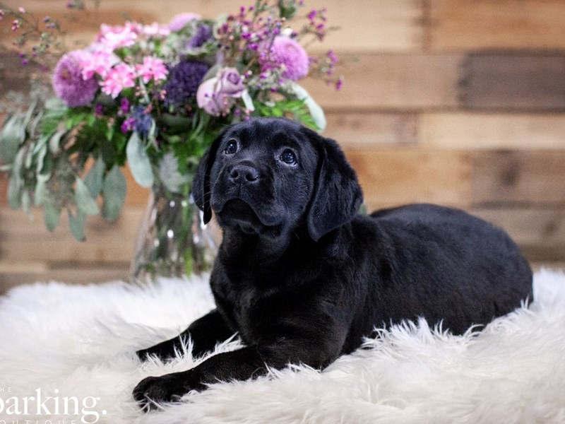 Labrador Retriever-Female-Black-2592965-The Barking Boutique