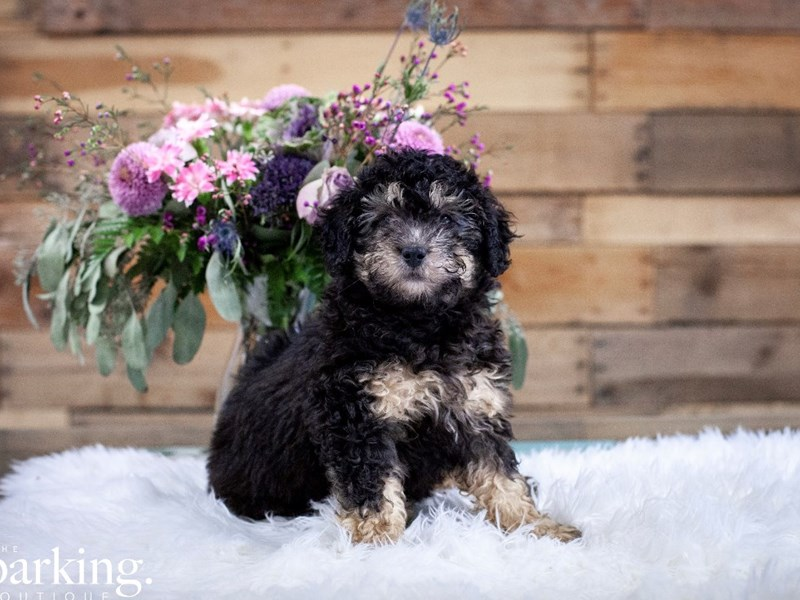F1B Mini Bernedoodle-Male-black and tan-2592265-The Barking Boutique