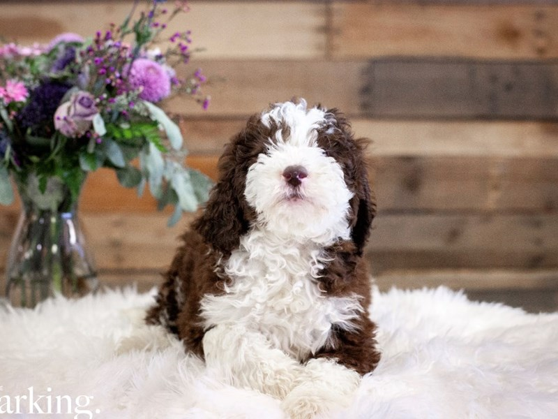 F1B Mini Bernedoodle-Male-Chocolate and white-2591826-The Barking Boutique