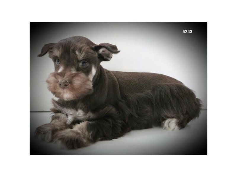 Miniature Schnauzer-Male-Chocolate / Tan-2608430-The Barking Boutique