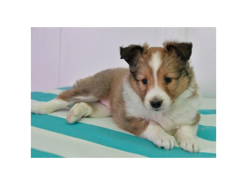 Shetland Sheepdog-Female-Sable / White-2608431-The Barking Boutique