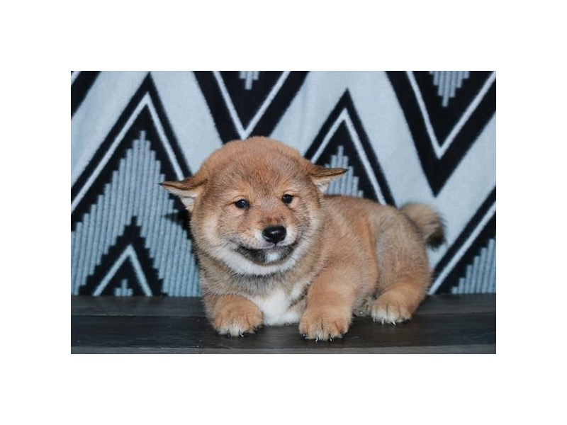 Shiba Inu-Male-Red-2608432-The Barking Boutique